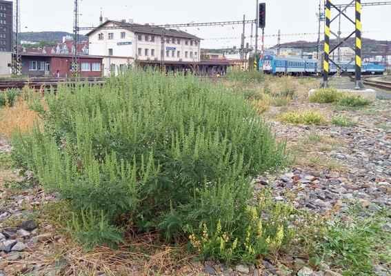 Ambrozie peřenolistá (Ambrosia artemisiifolia)