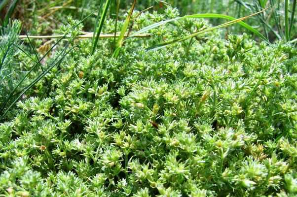 Chmerek mnohoplodý (Scleranthus polycarpos) - C3