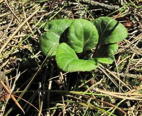 Hruštička zelenokvětá (Pyrola chlorantha) - C1t