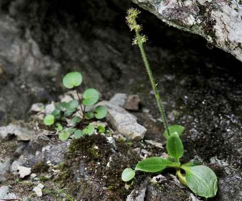 Lomikámen jestřábníkolistý (Hieracium saxifragum) - u nás neroste (SR)