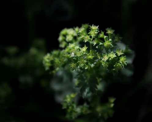 Kontryhel třpytivý (Alchemilla micans)