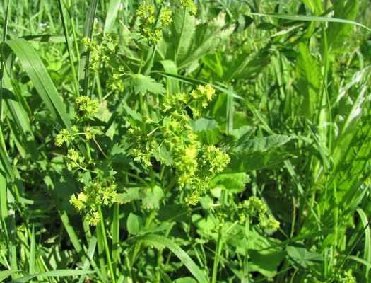 Kontryhel žlutozelený (Alchemilla xanthochlora)