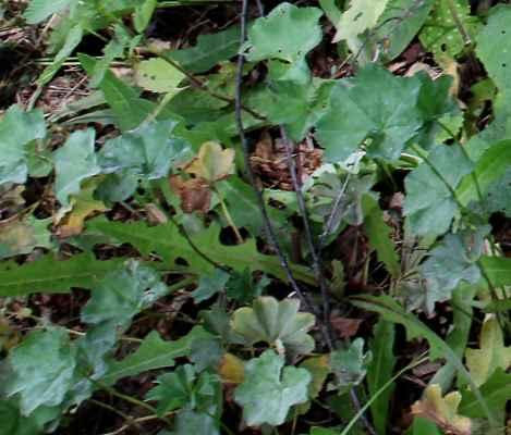 Kontryhel lysolodyžný (Alchemilla glabricaulis) - C1t (záběr byl jen okrajový, nevšiml jsem si jej, až na fotu jiné kytky) ;-)