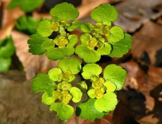 Mokrýš střídavolistý (Chrysosplenium alternifolium)
