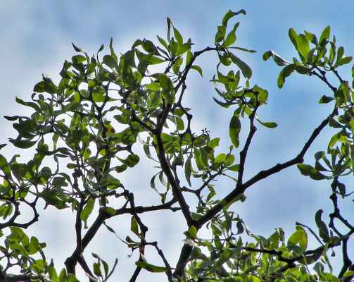 Ochmet evropský (Loranthus europaeus) - C4a