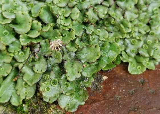 Porostnice mnohotvárná (Marchantia polymorpha)