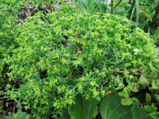 Pryšec srpovitý (Euphorbia falcata) - C3