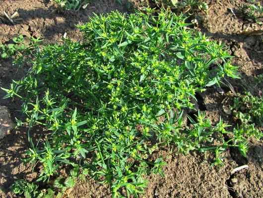 Pryšec drobný (Euphorbia exigua) - C4a
