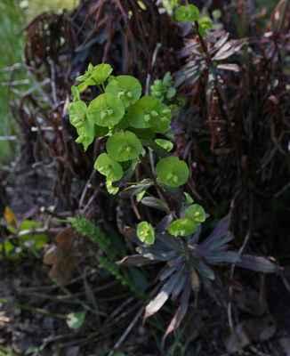 Pryšec mandloňovitý (Euphorbia amygdaloides) - C4a