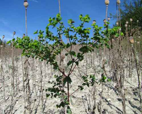 Pryšec okrouhlý (Euphorbia peplus)