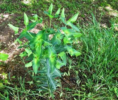 Pryšec skočcový (Euphorbia lathyris)