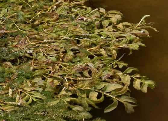 Rdest rdesnolistý (Potamogeton polygonifolius) - C2r