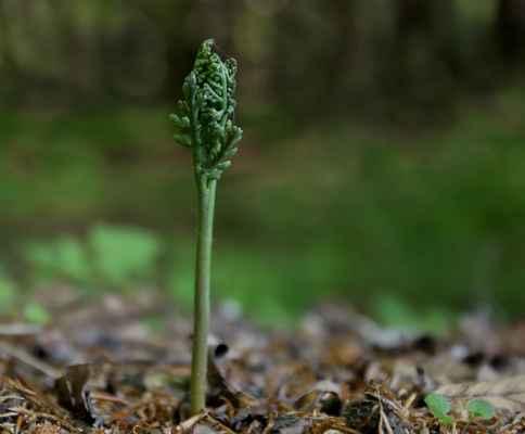 Vratička heřmánkolistá (Botrychium matricariifolium) - C1t, §1