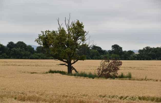 Kopčany 09.júl - Môj obľúbený strom pri hrádzi v zlatom poli obilia.