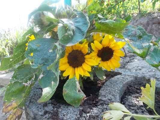Holíč 10.júl - V takých betonových tvarniciach maju takúto ktásnu mini slnečničku.