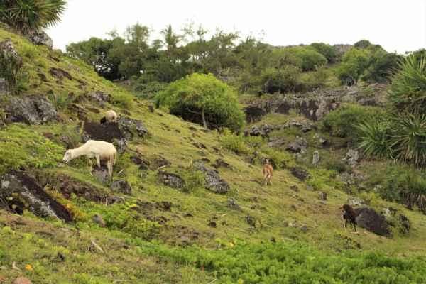 to využívají domácí k pastvě koz a ovcí