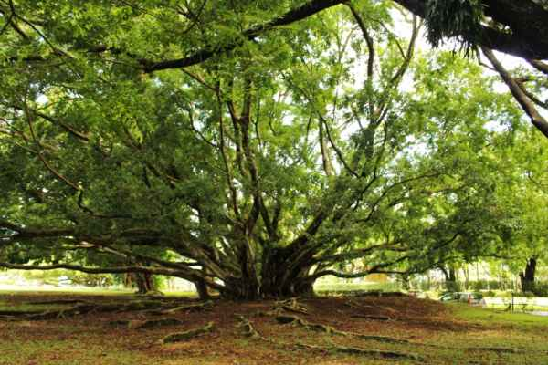 500 let staré stromy