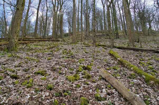 suťový les s letitými kleny a vzácnými jilmy...