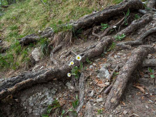 Stokrásky Micheliho rastú priamo na strmom chodníku
