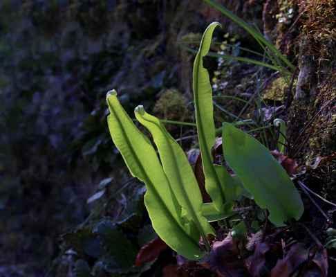 Jelení jazyk celolistý (Asplenium scolopendrium) - C1r, §1
