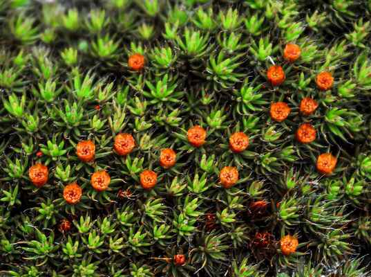 Ploník chluponosný (Polytrichum piliferum)