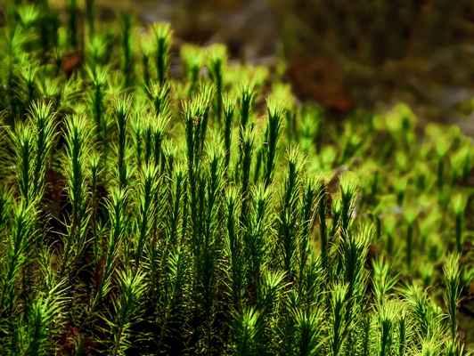 Ploník ztenčený (Polytrichastrum formosum)