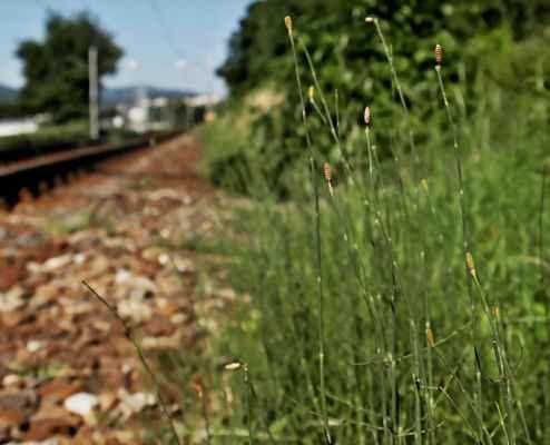 Přeslička Mooreova (Equisetum x mooreii) - C2t