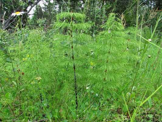 Přeslička lesní (Equisetum sylvaticum)