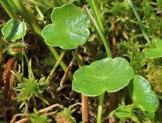Pupečník obecný (Hydrocotyle vulgaris) - C3, §3