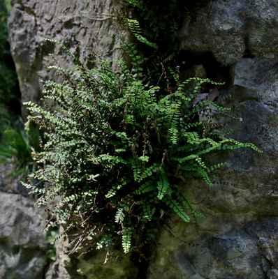 Sleziník červený zakřivený (Asplenium trichomanes subsp. pachyrachis) - C1r