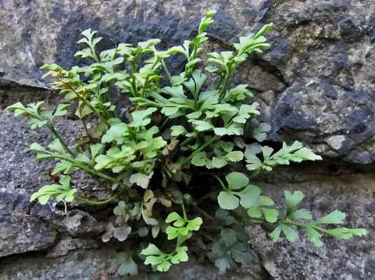 Sleziník routička (Asplenium ruta-muraria)