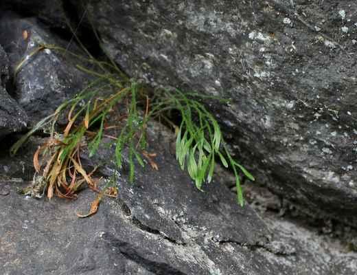 Sleziník severní (Asplenium septentrionale)