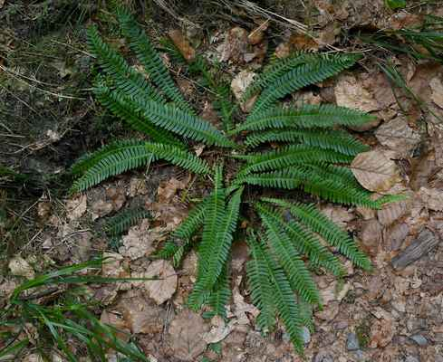 Žebrovice různolistá (Blechnum spicant) - C4a