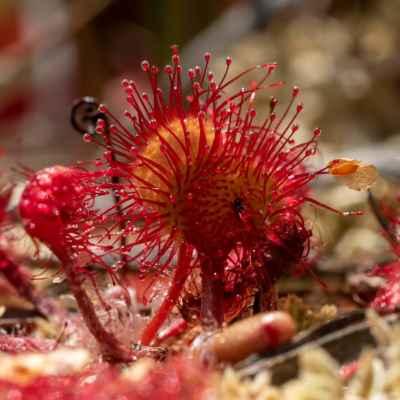 Rosička okrúhlolistá - Drosera rotundifolia L. (rosnatka okrouhlolistá), čeľaď Droseraceae (rosičkovité)
