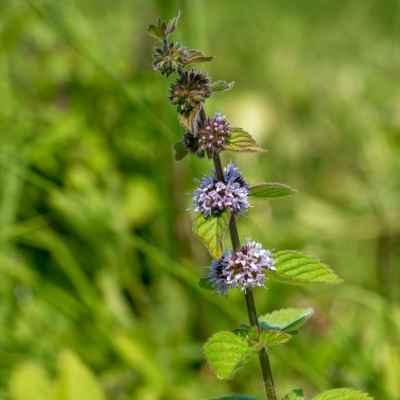Mäta roľná - Mentha arvensis L. (máta rolní), čeľaď Lamiaceae (hluchavkovité)
