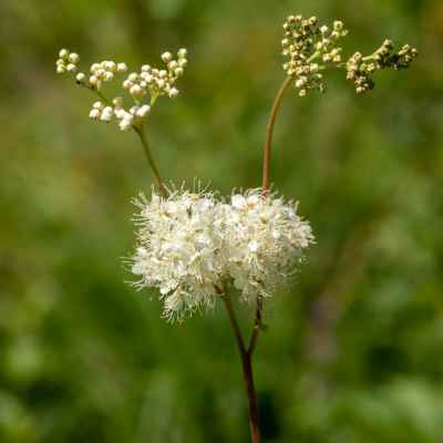 Túžobník brestový - Filipendula ulmaria (L.) Maxim. (tužebník jilmový), čeľaď Rosaceae (ružovité)