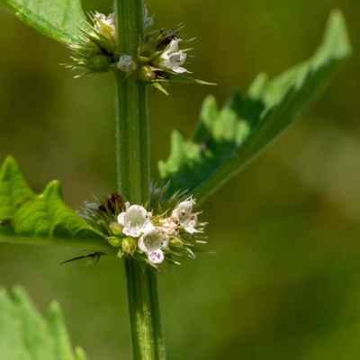 Karbinec európsky - Lycopus europaeus L. (karbinec evropský), čeľaď Lamiaceae (hluchavkovité)