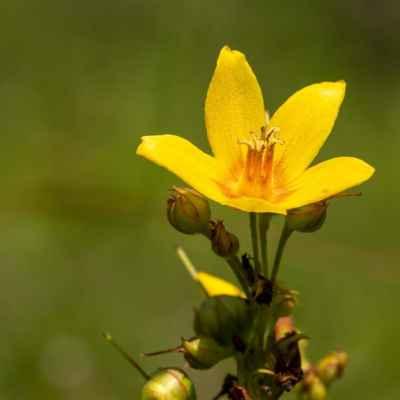 Čerkáč obyčajný - Lysimachia vulgaris L. (vrbina obecná), čeľaď Primulaceae (prvosienkovité)