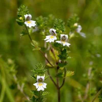 Očianka Rostkovova - Euphrasia rostkoviana Hayne (světlík lékařský), čeľaď Scrophulariaceae (krtičníkovité)