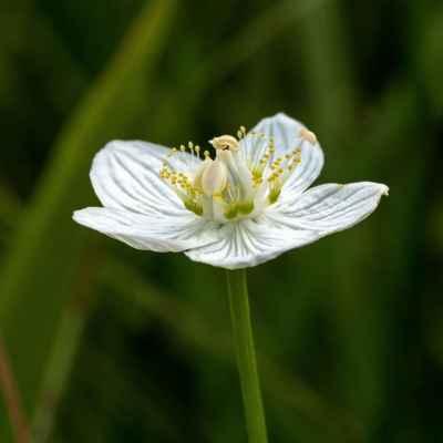 Bielokvet močiarny - Parnassia palustris L. (tolije bahenní), čeľaď Parnassiaceae (bielokvetovité)