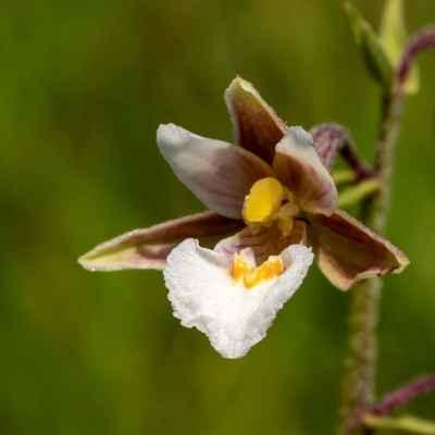 Kruštík močiarny - Epipactis palustris (L.) Crantz (kruštík bahenní), čeľaď Orchidaceae (vstavačovité)