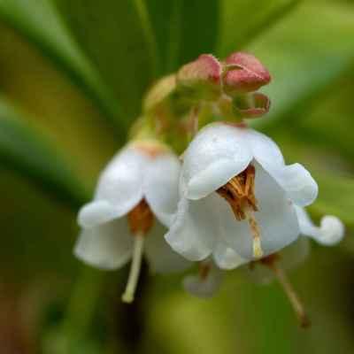 Brusnica pravá - Vaccinium vitis-idaea L. (brusnice brusinka), čeľaď Ericaceae (vresovcovité)