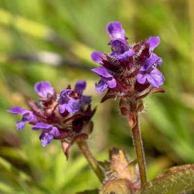 Čiernohlávok obyčajný - Prunella vulgaris L. (černohlávek obecný), čeľaď Lamiaceae (hluchavkovité)