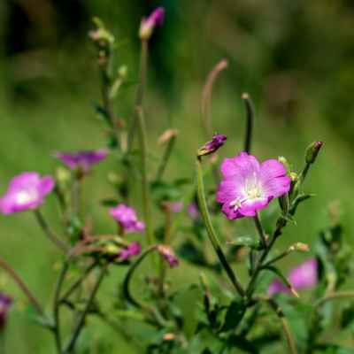 Vŕbovka chlpatá - Epilobium hirsutum L. (vrbovka chlupatá), čeľaď Onagraceae (pupaľkovité)
