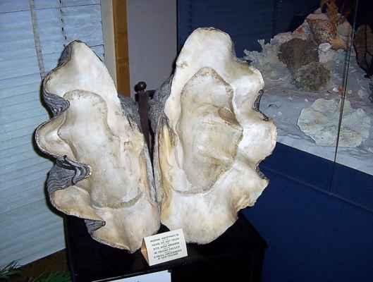 Zéva obrovská (latinsky: Tridacna gigas) je největší žijící mlž. Dorůstá velikosti až 1,2 metru, váhy až 200 kilogramů a dožívají se více než sta let. Živí se řasami, fytoplanktonem a zooplanktonem. Zéva obrovská je jedním z nejohroženějších druhů mušlí. První zmínky o tomto druhu se datují do roku 1825. Avšak počet škeblí se rapidně zmenšuje a na mnoha místech, kde ještě před pár lety byly běžné, úplně vymizely. Zajímavostí je, že žádní dva jedinci zévy obrovské nejsou stejně zbarveni.